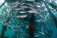 Jacks schooling under a jetty<br /> <br /> Shot in Indonesia