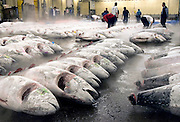 """Buyers at the world's biggest fish Market in Tsukiji, Tokyo inspect large tuna prior to auctioning at the market. More than 2,300 tons of fish -- about one-third of the total consumed in Japan -- passes through Tsukiji each day and offers more than 450 varieties of marine products. The market, which dates back almost 75, will move to a high-tech site on a man-made island in Toyosu, which is well-documented as being contaminated with benizine. Not that Tsukiji is much better off -- many buildings in the aging site are stuffed with asbestos. """"Choose your poison,"""" says one Tsukiji official. The new site, which the government plans to be readied by 2012, will be significantly larger, with more room for off-loading and for sellers to display their goods. The current location, says one official, is too cramped and collisions between motorised carts and pedestrians means accidents occur almost daily. Meanwhile, with fish sales down, it is becoming more difficult to justify Tsukiji's prime location and property developers are keeping a close watch on Tsukiji land, which is just a few blocks from the ritzy Ginza district of Tokyo, where per-meter land prices are the highest in the world...The move to the new Toyosu location, meanwhile, has been at the center of heated debate -- clean-up operations alone are estimated to cost ¥67 billion (around US$660 million), with a further ¥450 billion to build a new marketplace. Big wholesalers favour the move, but the 1,600-plus merchants mostly are against it. Yoshiharu Kiku, a Tsukiji storeowner who began working at the market 60 years ago, expresses bewilderment at the plans, saying that the name Tsukiji itself has become synonymous with the world's best and most eclectic selection of fish. """"This place has a long tradition. Why break it and start from scratch all over again?"""" he says."""