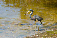 A Tricolored Heron wading in a shallow bay in Florida hunting for fish.