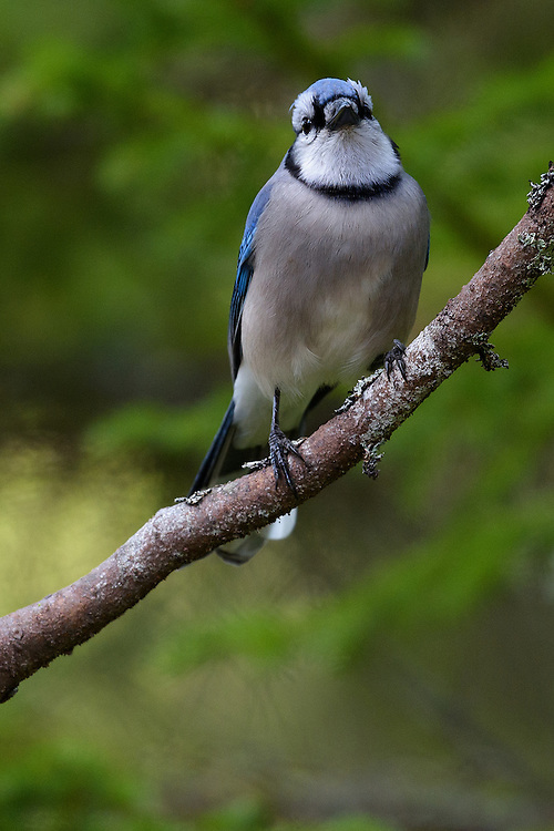Blue Jay (cyanocitta cristata), Bass Harbor, Maine