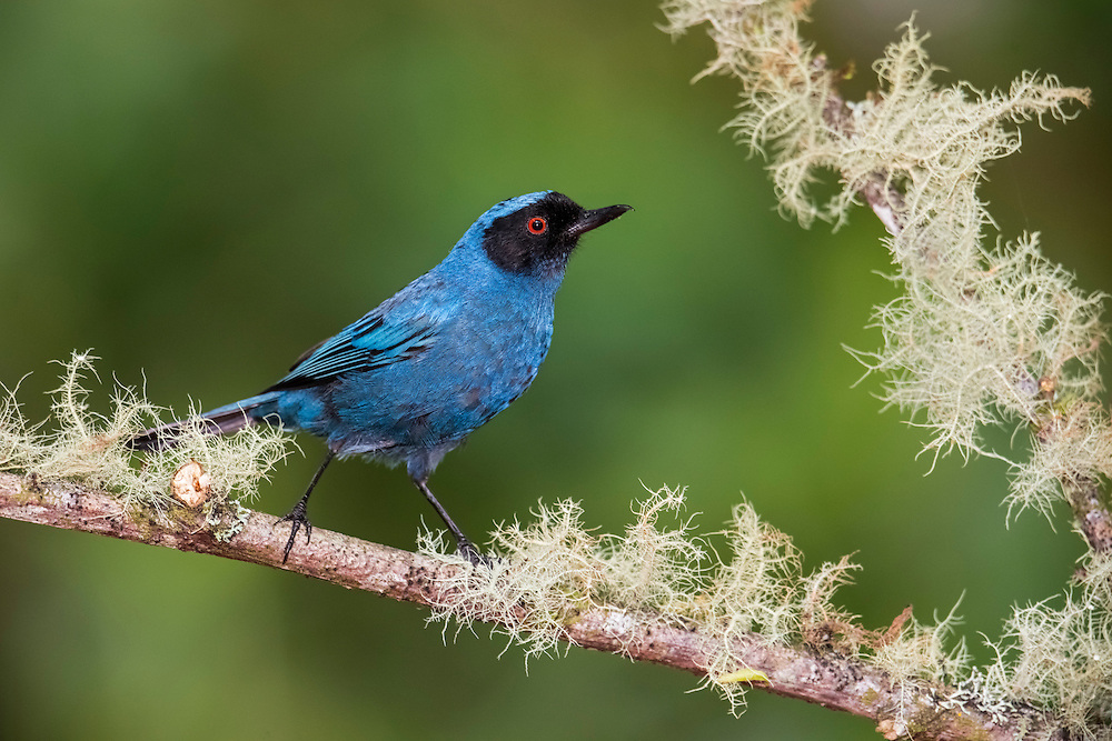 Masked Flowerpiercer, Diglossopis cyanea, Papallacta, Ecuador, montane, nectar, Andes, Andean