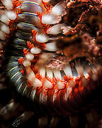 Close up of a Bearded fireworm (Hermodice carunculata). This is a species of marine bristleworm Photographed in The Mediterranean Sea Israel