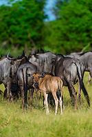 Blue wildebeest (gnu), near Kwara Camp, Okavango Delta, Botswana.