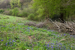 Early Purple Orchid and bluebells growing where brush has been cleared. Orchis mascula and Hyacinthoides non-scripta