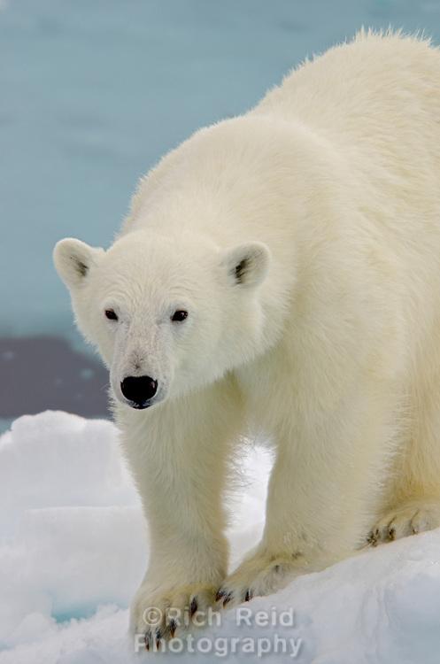 A young polar bear, Ursus maritimus on the sea ice near the Austfonna ice cap on Nordaustlandet in Svalbard archipelago, Norway.
