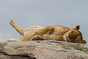 Lioness sleeping, Serengeti National Park