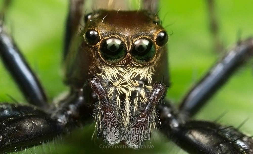 Siler semiglaucus