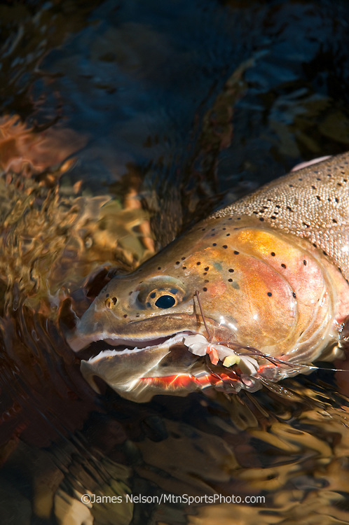 A cutthroat trout  caught using a Chernobyl Ant on the South Fork of the Snake River, Idaho