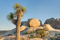 Joshua Tree (Yucca brevifolia), Joshua Tree National Park California