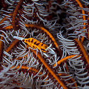 Crinoid Shrimp, Periclimenes cornutus, on its host crinoid in Lembeh Straits, Indonesia.