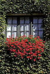 Typical window. Geraniums and ivy surround a typical window in the Loire region of France.