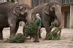 JAN 4 2013 Berlin Zoo: Unsold Christmas Trees