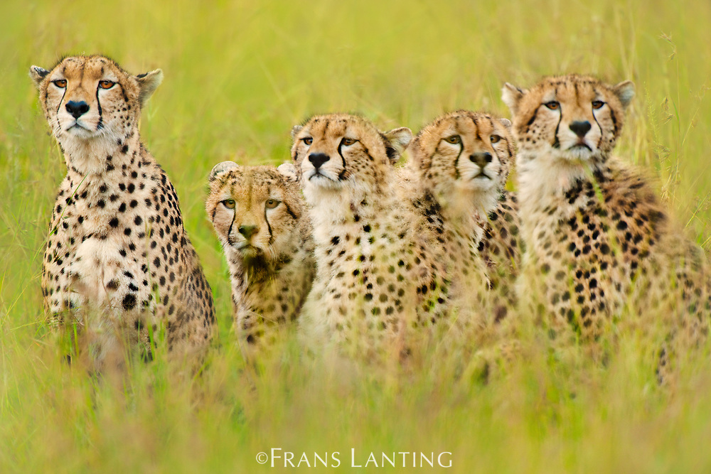 Cheetah family, Masai Mara National Reserve, Kenya