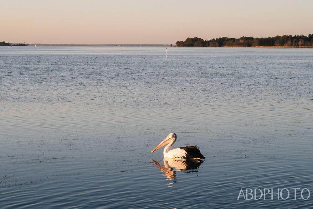 Long Jetty Central Coast Australia pelican water birds Pelecanidae