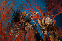 A lionfish hovers in a seafan..Misool Island vicinity.  Near smaller island of Fiabacet.