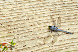 Moraine View SP area - Blue Dasher (Pachydiplax longipennis)