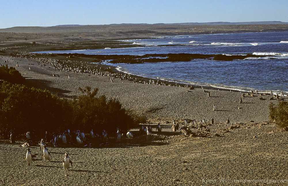 South America, Argentina, Punta Tombo. Magellenic penguins coming ashore to nesting grounds.