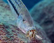 A female Dimidiochromis kiwinge, retrieves her young fry, which swim into her mouth for protection. This species is just one of more than 1,000 cichlids endemic to Lake Malawi that are known as maternal mouth brooders. After fertilization, the female holds the eggs and later young in her mouth for approximately three weeks. During this period, she abstains from eating and dedicates herself to her fry until they are large enough to fend for themselves.