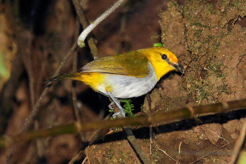 Yellow-ringed White-eye, Zosterops wallacei, on branch, Pagal, Flores, Indonesia, by Adam Riley