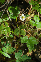Wild strawberry, Pine Ridge Trail, Big Sur, California.