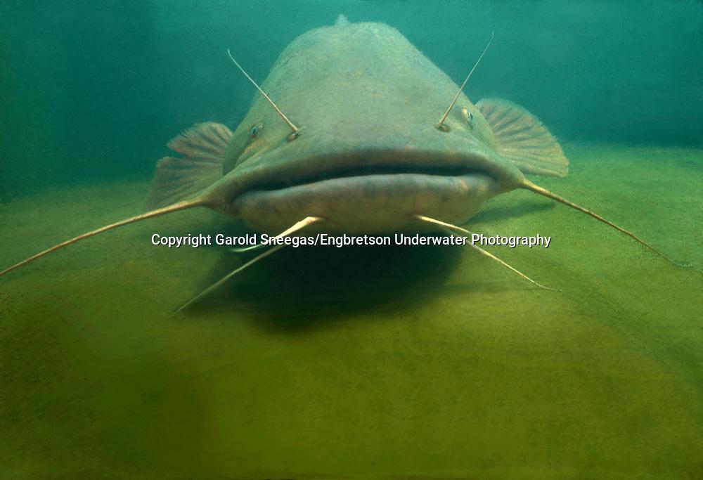Flathead Catfish<br /> <br /> Garold Sneegas/Engbretson Underwater Photography
