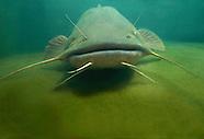 Flathead Catfish, Underwater