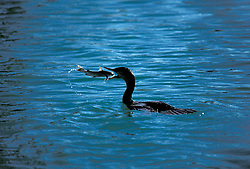 Cormorant (Phalacrocorax) in Water Swallowing Hardhead Catfish