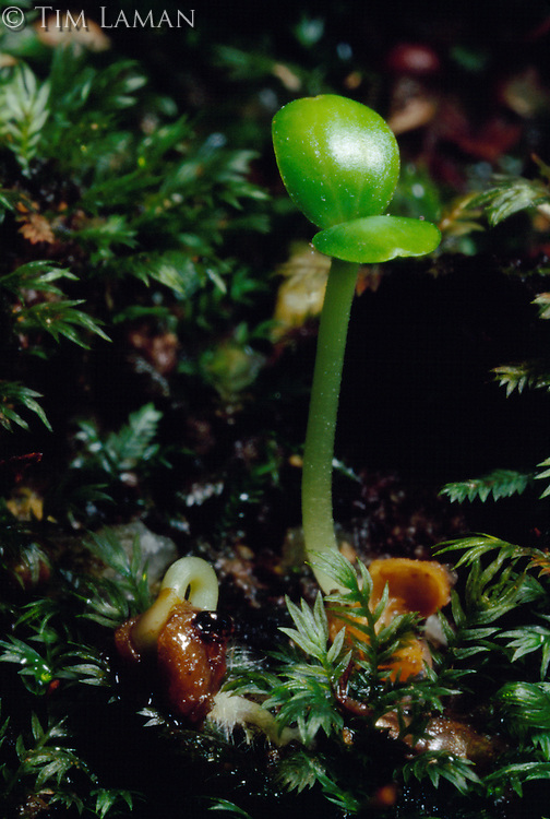 Seedling of the Giant strangler fig tree (Ficus stupenda) sprouts on the moss and mulch covered floor of the rain forest.