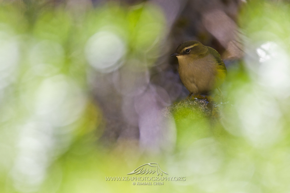 New Zealand Rock Wren, Fiordland