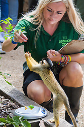 ZSL London, August 21st 2014. A member of ZSL staff uses treats to coax a squirrel monkey onto the scales as ZSL London holds its annual animal weigh and measure day to update their databases.