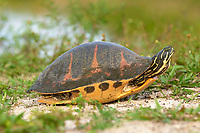 Florida Redbelly Turtle Pseudemys nelsoni Arthur R Marshall National Wildlife Reserve Loxahatchee Florida USA