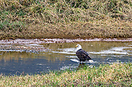 A Bald Eagle (Haliaeetus leucocephalus) feeds on spawning salmon at the Harrison River, Harrison Mills, British Columbia, Canada