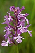 Small purple fringed orchid, Platanthera psycodes; Bruce Peninsula National Park<br />Bruce Peninsula National Park<br />Ontario<br />Canada