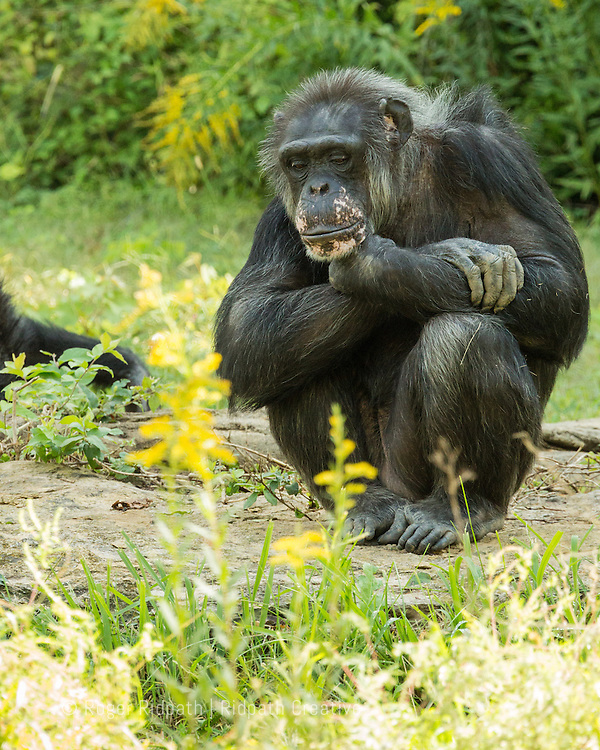 Chimpanzee portrait sitting at Kansas City Zoo