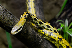 THEMENBILD - Schoennatter (Elaphe taenuira), captive, Vorkommen Malaysia // Beautiful snake (Elaphe taenuira), captive, Occurrence Malaysia. EXPA Pictures © 2017, PhotoCredit: EXPA/ Eibner-Pressefoto/ Schulz<br /> <br /> *****ATTENTION - OUT of GER*****