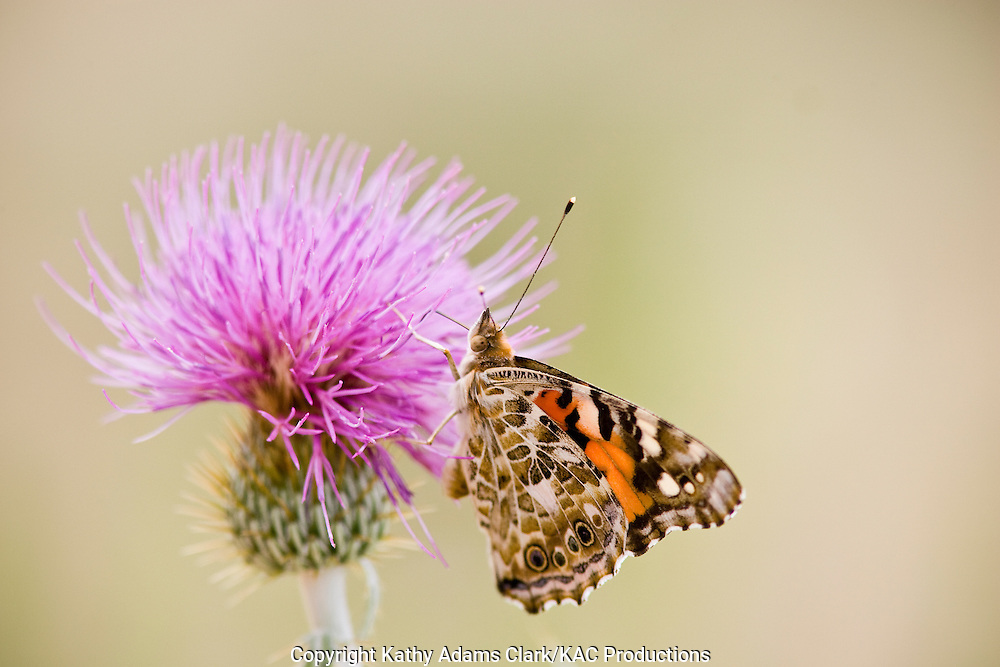 Painted lady butterfly, Vanessa cardui, on thistle, Big Bend National Park, Texas