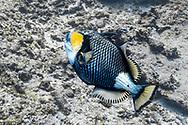 Titan triggerfish-Baliste titan (Balistoides viridescens), Nusa Penida island, Bali, Indonesia.