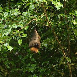 Fruit bat hanging in a tree.