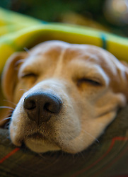 Sleeping Beagle Dog