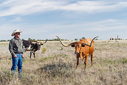 Texas longhorns from Official State of Texas Longhorn Herd and Will Cradduck, Herd Manager near Fort remnants, Fort Griffin State Historic Site, Albany, Texas USA.