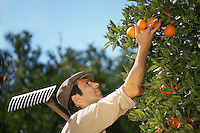 Farmer picking oranges