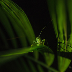 A grasshopper is searching for insects on the leaf of a palm, Cuyabeno Reserve, Ecuador.