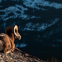 trophy bighorn ram resting on rocks evening warm light wild rocky mountain big horn sheep