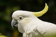 Sulfur-crested Cockatoo, Australia