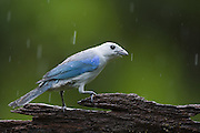 Blue-gray Tanager <br /> Thraupis episcopus<br /> Northern Costa Rica, Central America