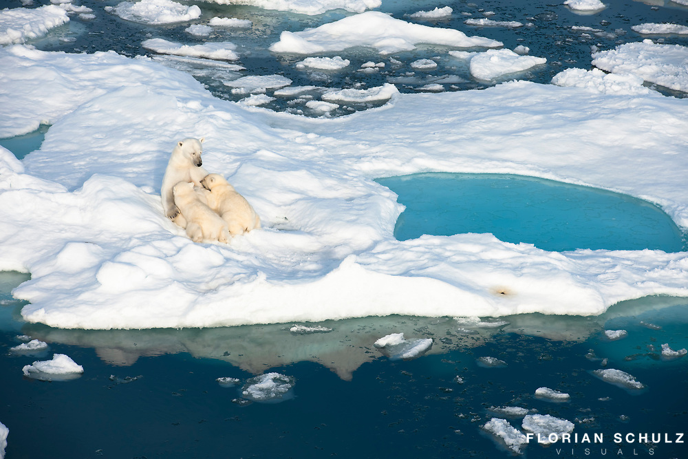 While nursing her young cubs, a mother polar bear seems to fall into a meditative state.