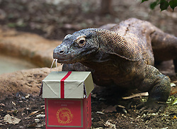© Licensed to London News Pictures. 23/01/2012. LONDON, UK. Raja, a 13 year old komodo dragon,  receives a box containing fishy treat as a gift for the Chinese Year of the Dragon. Raja is one of two komodo dragons at London zoo and received his present after a scrub down from a keeper to celebrate Chinese New Year. Photo credit: Matt Cetti-Roberts/LNP