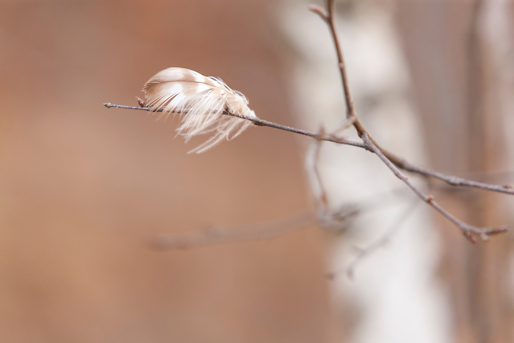 A Ruffed Grouse left a graceful calling card dancing on the breeze, anchored to the white birch twigs it zipped through.