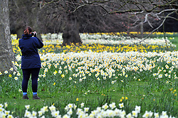 &copy; Licensed to London News Pictures.06/04/2018<br /> GREENWICH, UK.<br /> Lady taking pictures.<br /> SPRING weather and daffodils at Greenwich Park,London.<br /> Photo credit: Grant Falvey/LNP