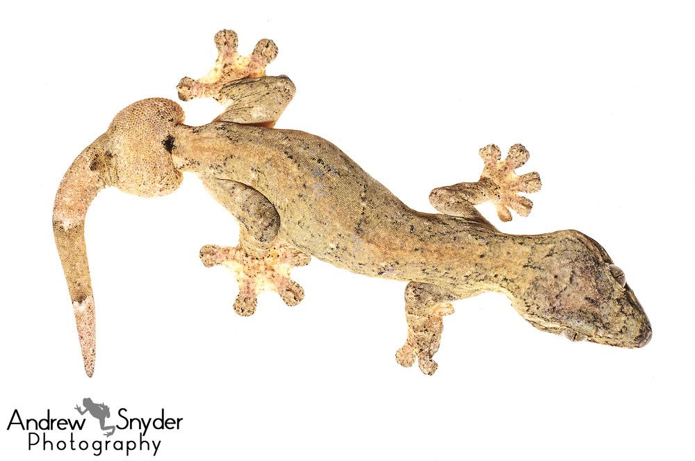 Turnip tail gecko (Thecadacylus rapicauda) -Chenapau, Guyana